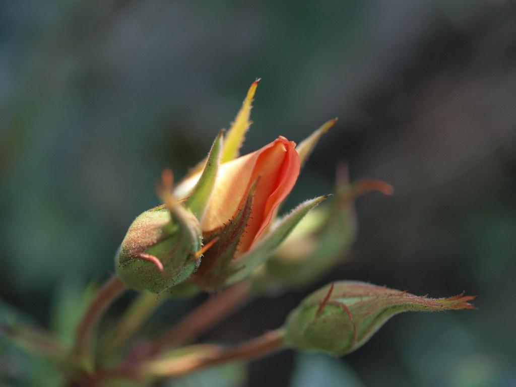 Rosenknospe in unserem Garten