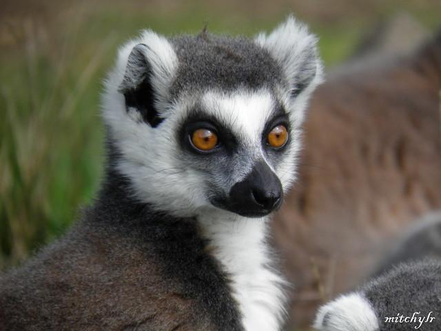 Ring-Tailed Lemur 4