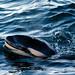 Orca calf - Photo by Jan Reyniers