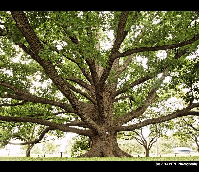 Bebb's Oak (Quercus x Bebbiana)