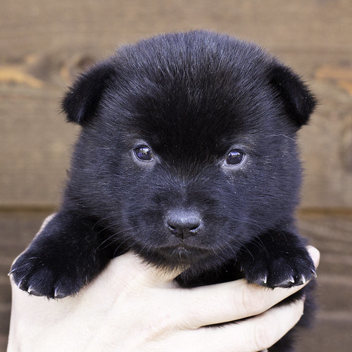 Nori-Litter2-30Days-Puppy6(female)a