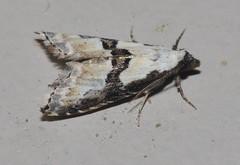 # 8440 – Nigetia formosalis – Thin-winged Owlet Moth