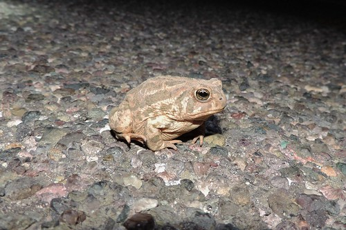 Great Plains Toad (Bufo - or Anaxyrus - cognatus)