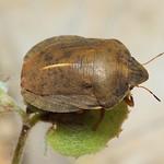 osztrákpoloska - Eurygaster austriaca
