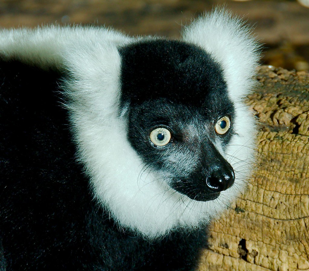 Black and White Ruffed Lemur (Varecia variegata variegata)_4