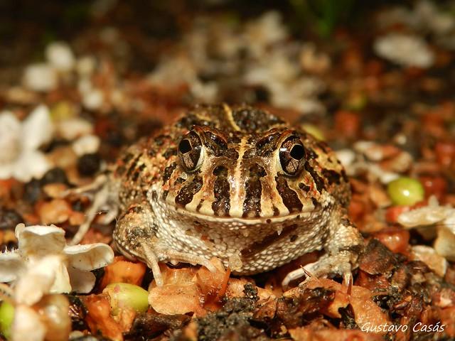 Escuerzo Chico (Odontophrynus americanus)