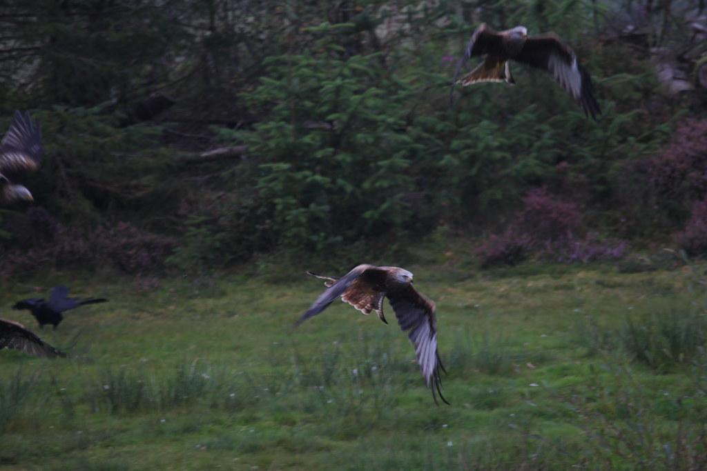 red kite, bwlch nant yr arian