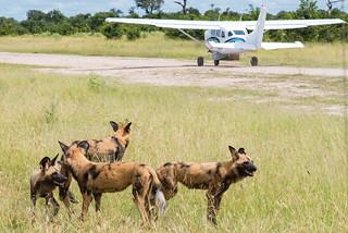 Wildhunde am Kwando-Airstrip