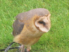 European Barn Owl IMG_2399