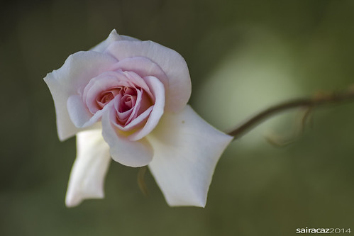 rosa (explore)