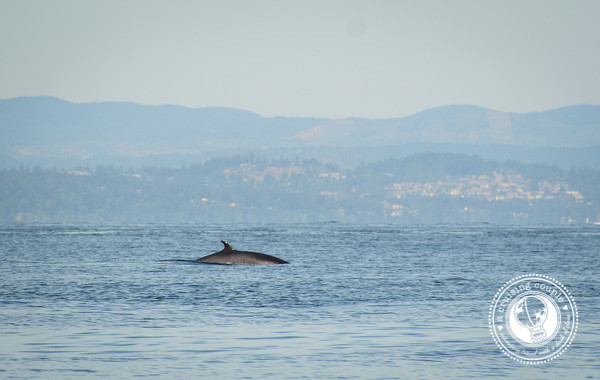 Canada Photo Essay - Minke Whale