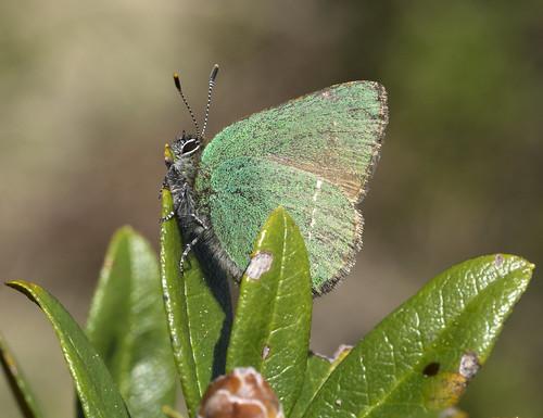 Green Hairstreak Austria-Niederau (49)