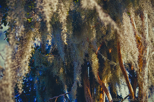summer tree nature canon moss texas unitedstates outdoor spanishmoss beaumont crepemyrtle flowersplants