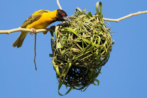 africa bird burundi ploceusmelanocephalus blackheadedweaver bururi subsaharan