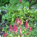 Small photo of astilbe