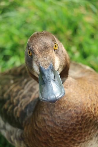 Quack (SOTC 106/365)