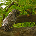 uttampegu posted a photo:	Mottled Wood Owl in Udaipur.. its very elusive bird.