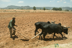 Plowing with Oxen - Tigray, Ethiopia