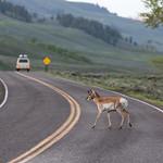 Pronghorn antelope crossing