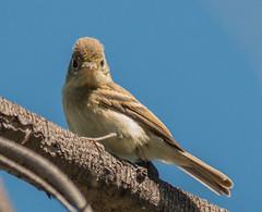 Pacific-slope Flycatcher, juvenile (Empidonax difficilis)