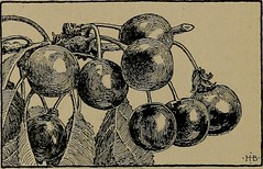 """Image from page 486 of """"Manual of gardening; a practical guide to the making of home grounds and the growing of flowers, fruits, and vegetables for home use"""" (1910)"""