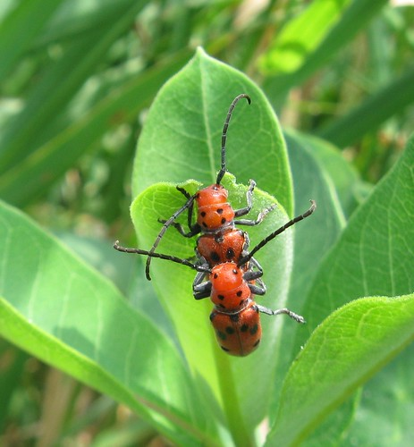 Red milkweed beetles, Starkweather Creek