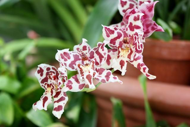 biltmore-estate-conservatory-orchids