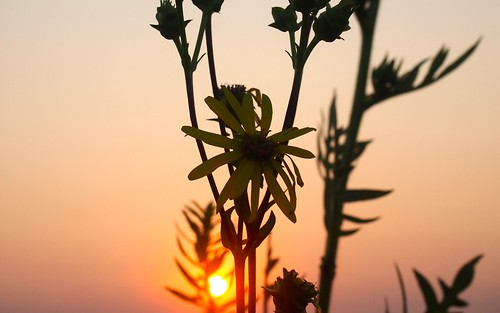 sunset flower illinois weed native bokeh daisy springfield prairie wildflower