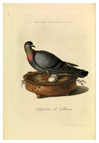 015-Paloma azul- Nederlandsche vogelen- Nationale bibliotheek van Nederland