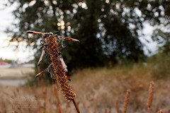 Ammophila far and wide