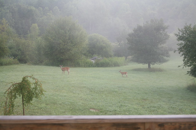 Two deer in the back yard