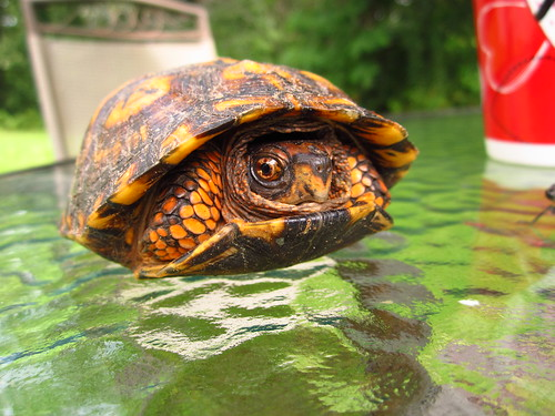 Eastern Box Turtle (Terrapene carolina) #4
