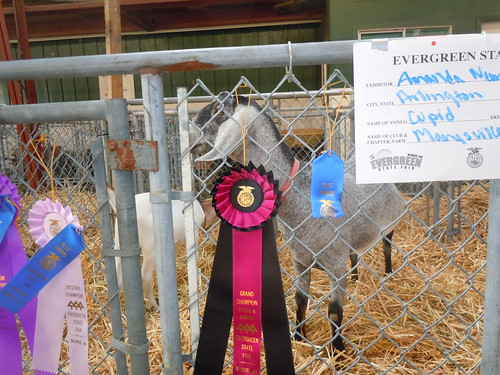 Darrin told me goats will eat anything... including blue ribbons!