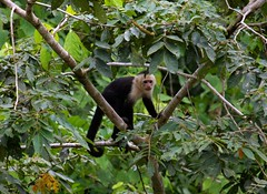 ape(0.0), animal(1.0), rainforest(1.0), branch(1.0), monkey(1.0), tree(1.0), mammal(1.0), capuchin monkey(1.0), fauna(1.0), forest(1.0), natural environment(1.0), spider monkey(1.0), white-headed capuchin(1.0), new world monkey(1.0), jungle(1.0), wildlife(1.0),