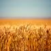 Field of Wheat by www.toddklassy.com
