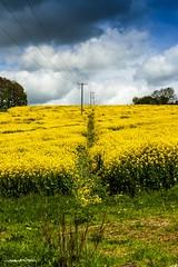 Path through a field of Rape seed