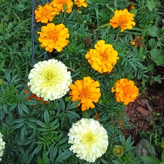 Never fail marigolds. Think I will plant more in tbe future. Range in color from white to yellow to orange. Also bi-colored. Nothing eats them!