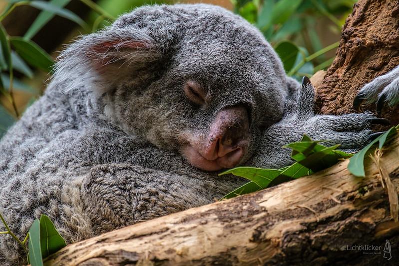 Koala - Reloaded