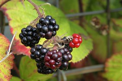 blackberry, berry, wine raspberry, loganberry, chokeberry, fruit, boysenberry, dewberry,