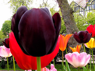 Tulips in The Hague in the Netherlands