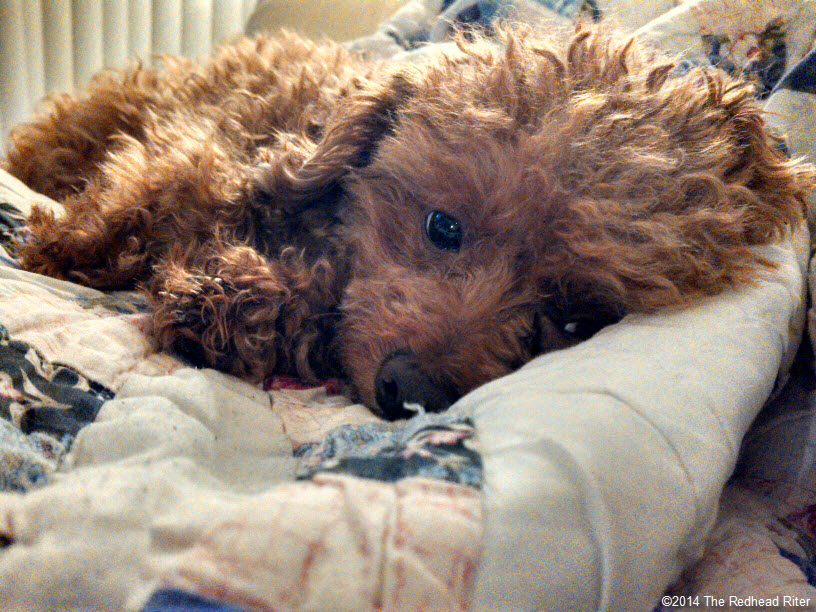 Rough Cell Phone Red Toy Poodle Photos 5