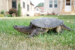 animal, turtle, reptile, fauna, common snapping turtle, tortoise,
