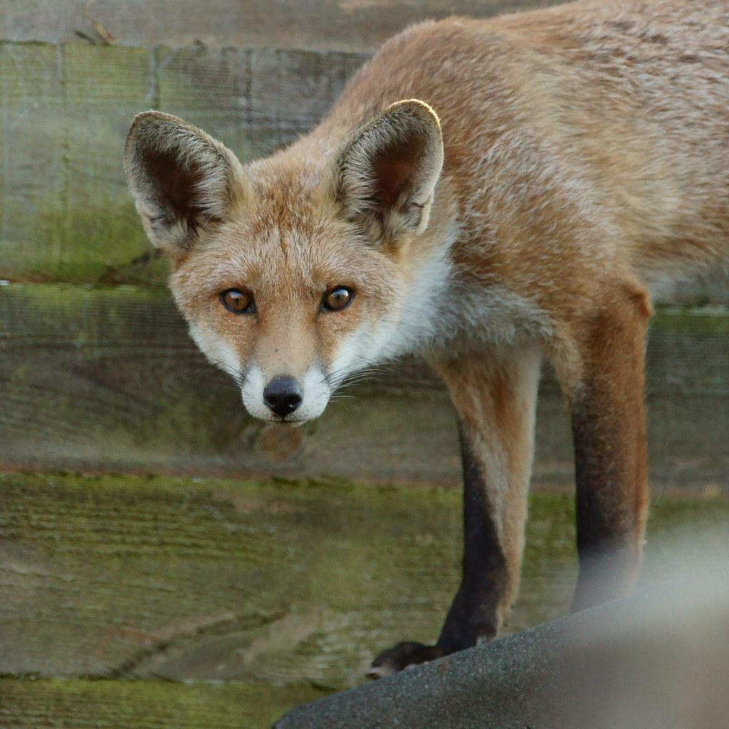'Freda' Fox
