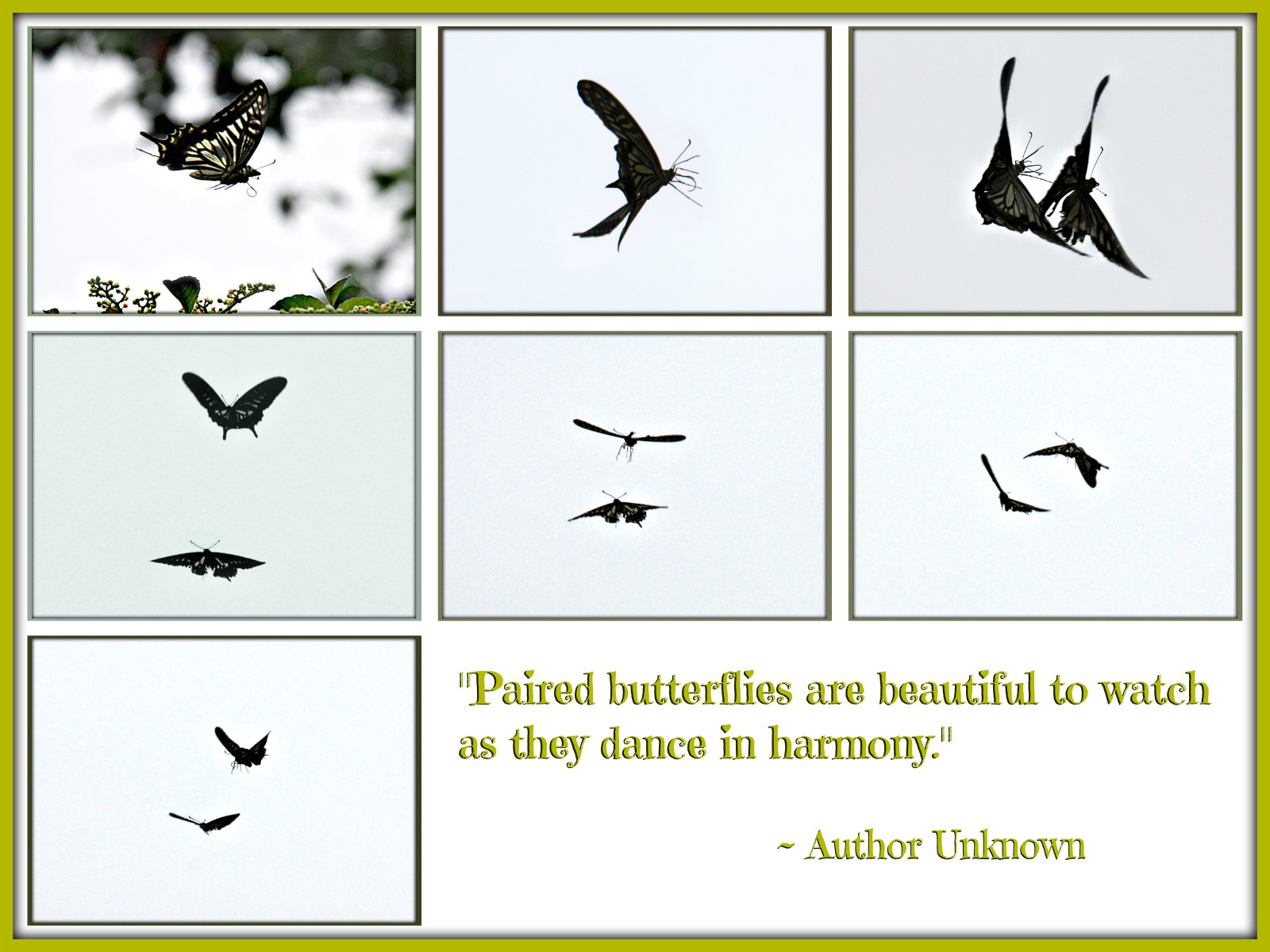 """Paired butterflies are beautiful to watch  as they dance in harmony."""