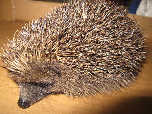 Hedgehog 0346