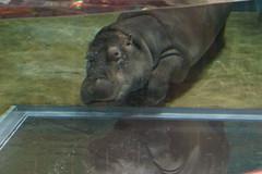 カバ / Hippopotamus