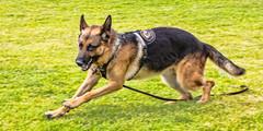tervuren(0.0), wolfdog(0.0), saarloos wolfdog(0.0), dog breed(1.0), german shepherd dog(1.0), animal(1.0), dog(1.0), pet(1.0), mammal(1.0), old german shepherd dog(1.0), belgian shepherd malinois(1.0), police dog(1.0), east-european shepherd(1.0), shiloh shepherd dog(1.0),