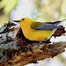 Prothonotary Warbler (PROW)
