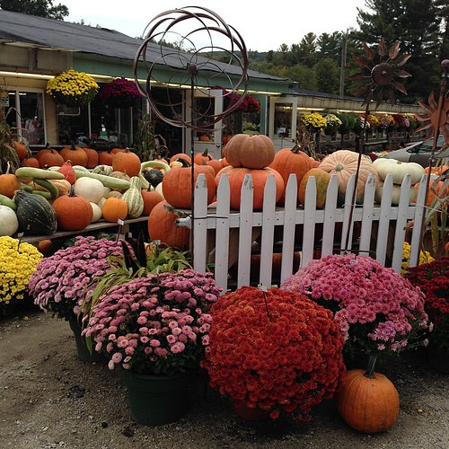 272:365 Mums & Pumpkins #NH