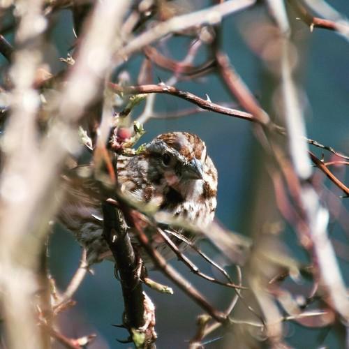 Yeah, I'm watching you, too. #forevergreennaturepreserve #wildlife #wildlifephotography #nature #naturephotography #birding #sparrow #sparrows #poconos #findyourpark #greenspace #broadheadcreek